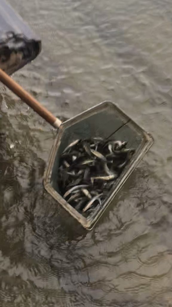 Fall Walleye Stocking in Oct of 2020